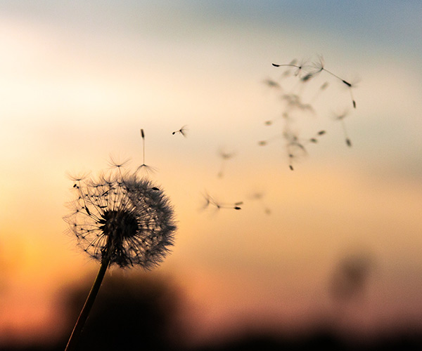 dandelion with sunset