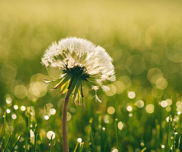 dandelion in a field of grass